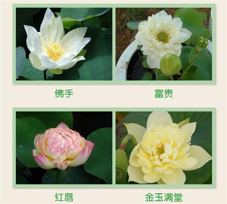锦州跑江湖地摊四季碗莲种子多少钱