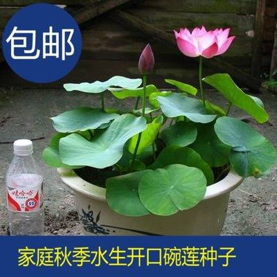 抚顺跑江湖地摊四季碗莲种子一斤多少钱