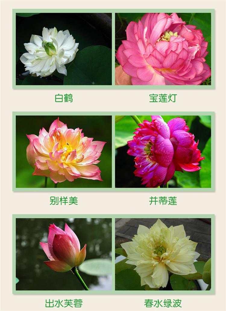 新地摊跑江湖火爆  产品---四季碗莲种子盆景