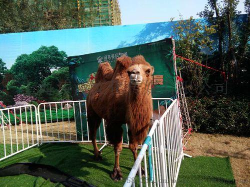 萌宠羊驼展示出租动物表演出租马戏团出租海狮表演出租837498775