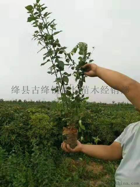 绛县2年连翘苗  山西2年连翘苗正在预定95918442