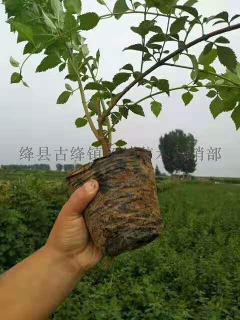 绛县2年连翘苗  山西2年连翘苗正在预定95918412