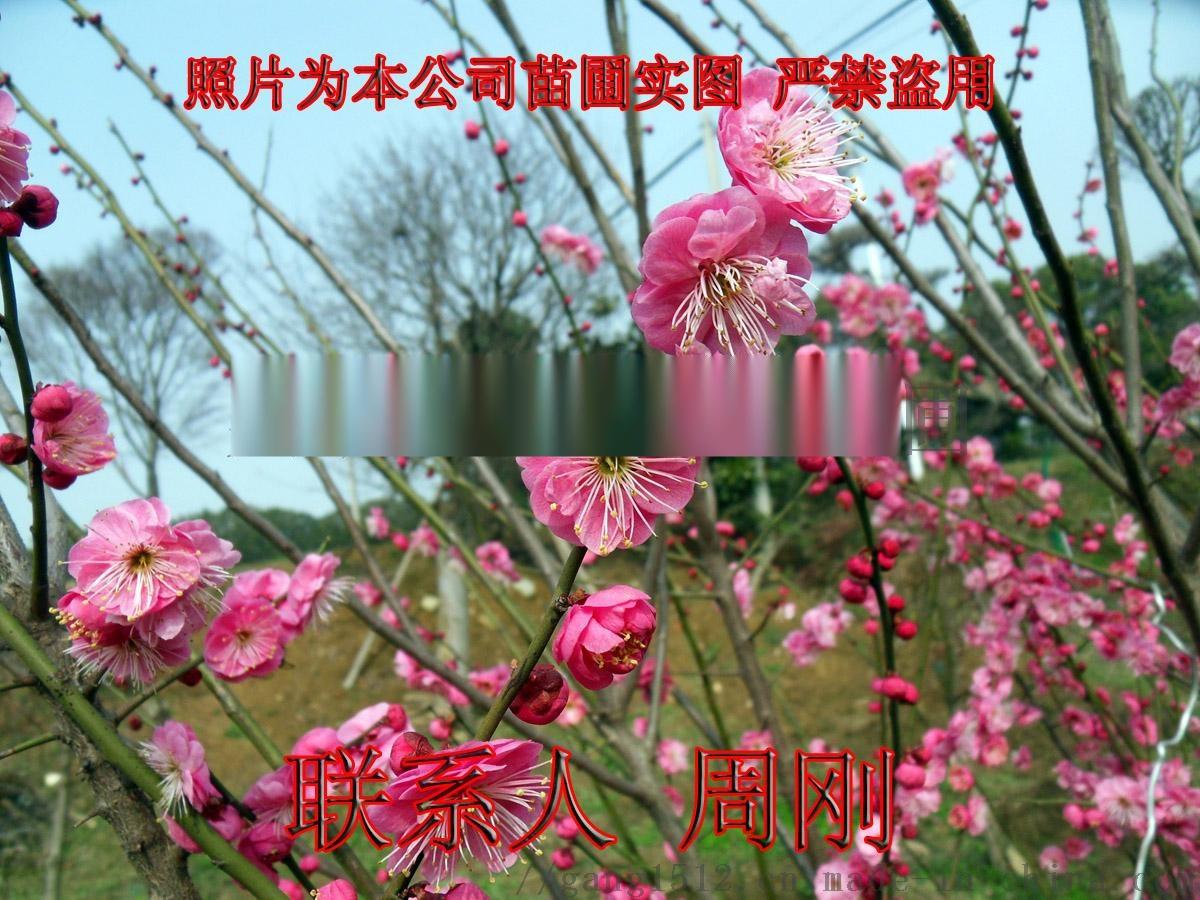 02梅花树桩 - 442kb.jpg