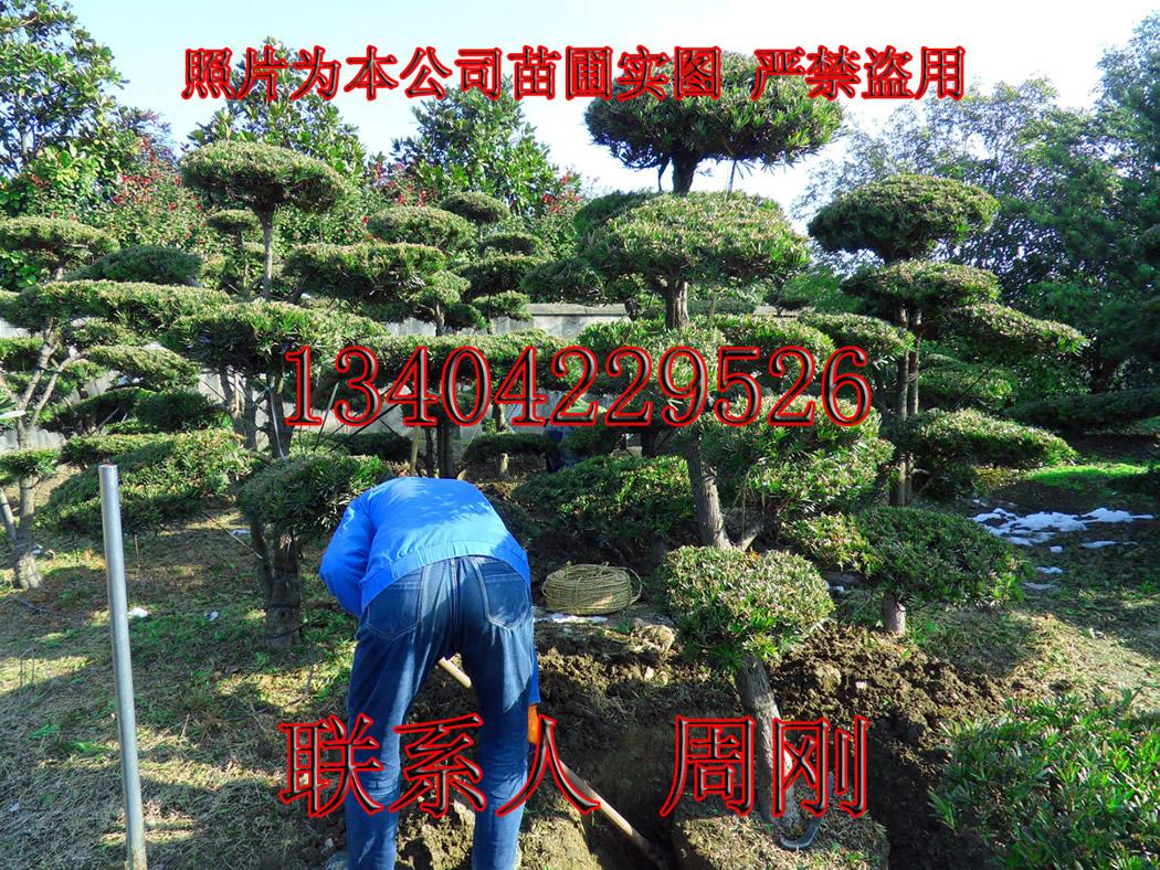 造型雪松  苏州绿化树苗种植基地 苏州市绿化工程899759205