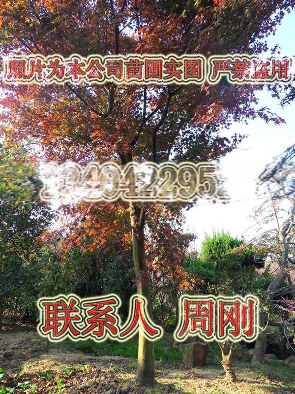 苏州羽毛枫种植基地 红羽毛枫 红枫 高杆精品鸡爪槭899746935