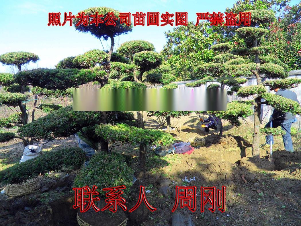 造型雪松  苏州绿化树苗种植基地 苏州市绿化工程899759215