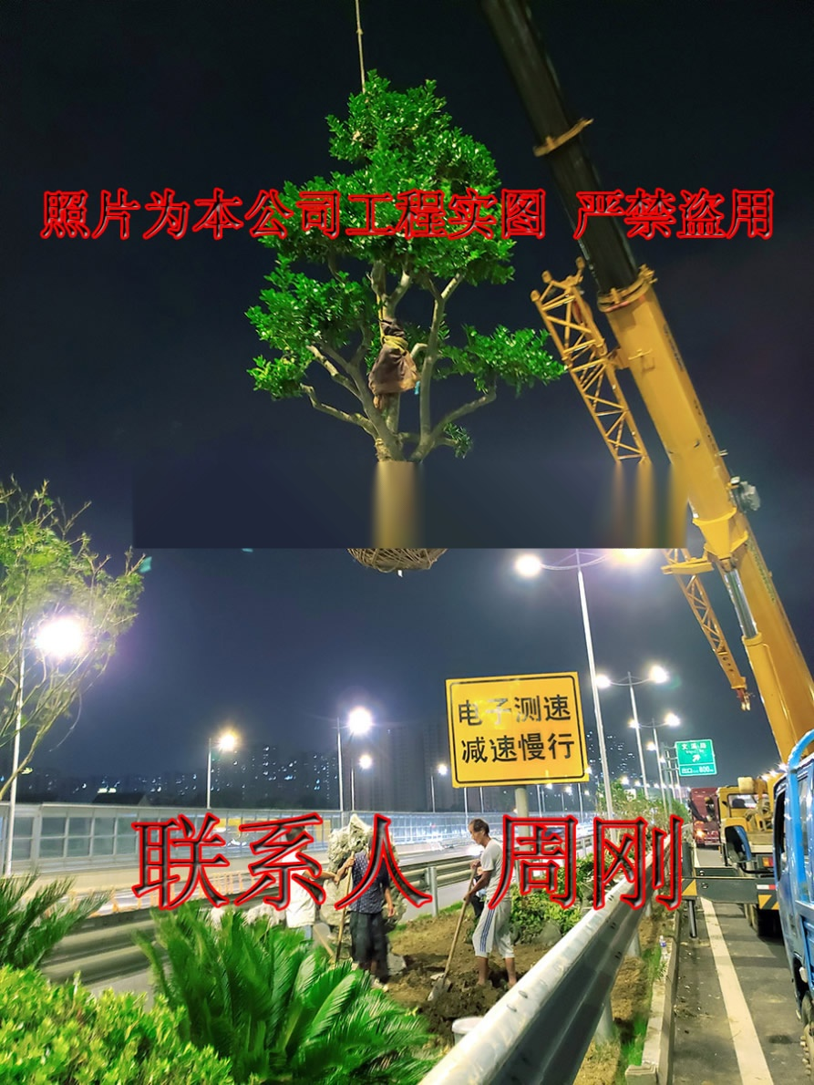 苏州造型鸿运果 造型无刺枸骨基地 庭院景观苗木899734305