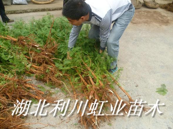 1.5米水杉苗1.JPG