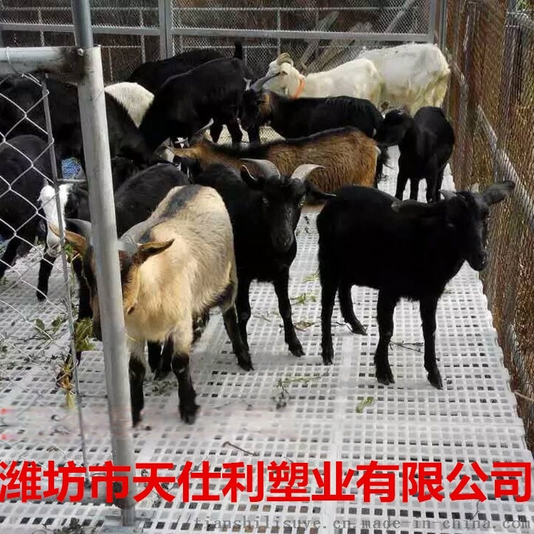 羊用塑料漏粪板 奶山羊漏粪板 厂家直销羊用漏粪板897675435