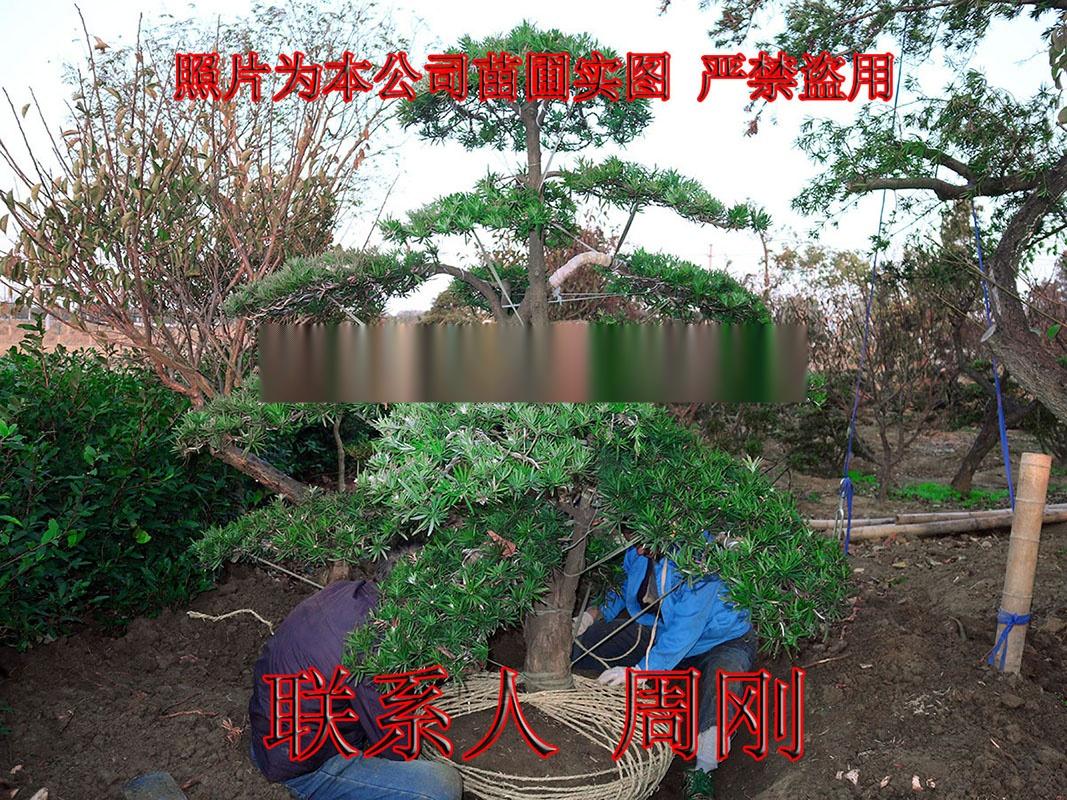 苏州造型罗汉松 造型雪松 造型五针松 造型景观树899738585