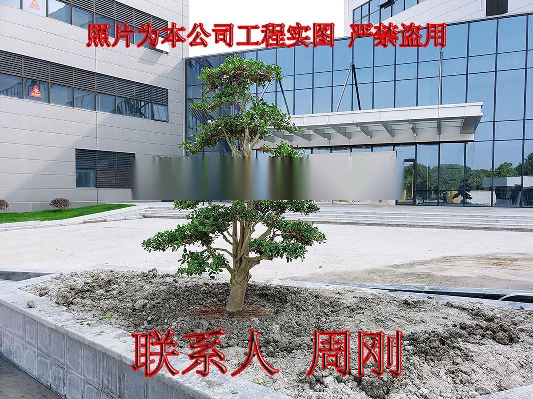 苏州造型鸿运果 造型无刺枸骨基地 庭院景观苗木899734345