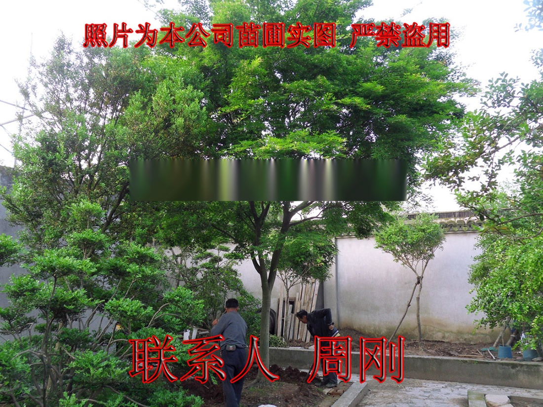 苏州鸡爪槭基地 精品高杆鸡爪槭 庭院高杆小叶青枫899746245