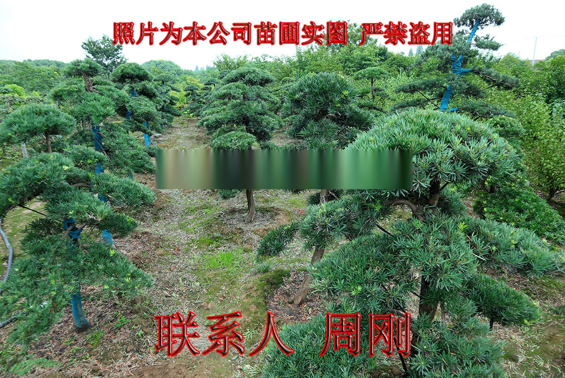 造型雪松  苏州绿化树苗种植基地 苏州市绿化工程899759225