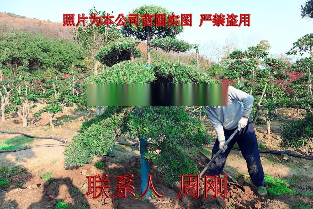 苏州造型罗汉松 造型雪松 造型五针松 造型景观树899738575