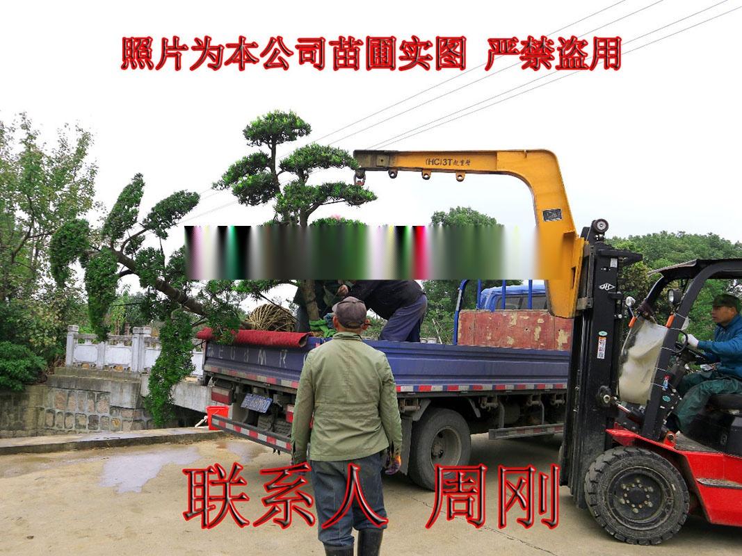苏州造型罗汉松 造型雪松 造型五针松 造型景观树899738615
