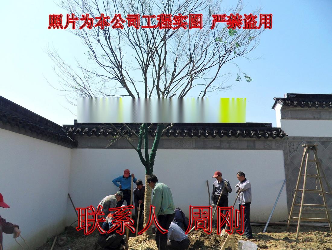 苏州鸡爪槭基地 精品高杆鸡爪槭 庭院高杆小叶青枫899746255