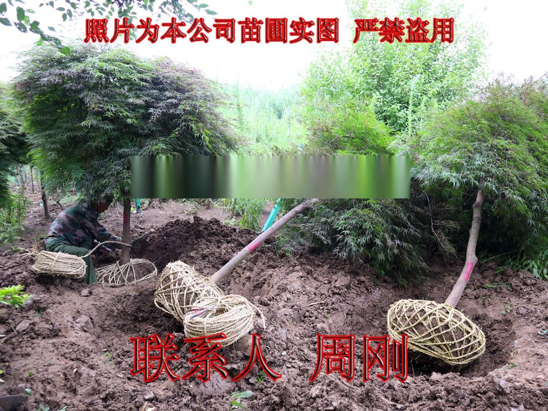 苏州羽毛枫种植基地 红羽毛枫 红枫 高杆精品鸡爪槭899746945
