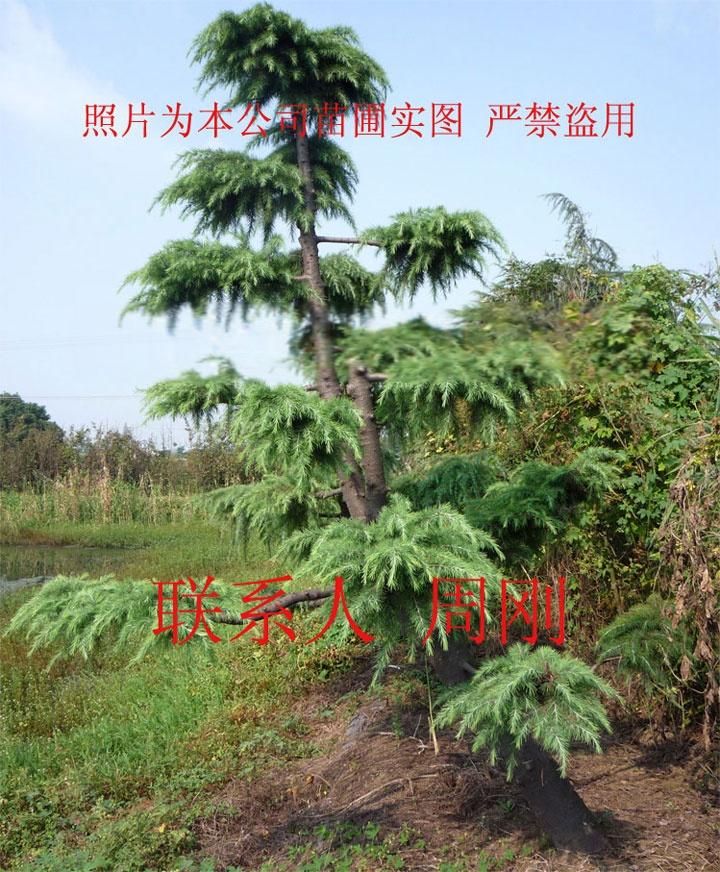 造型雪松  苏州绿化树苗种植基地 苏州市绿化工程899759195