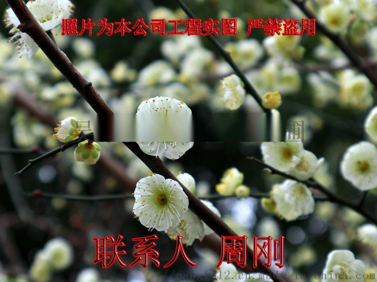红绿梅花 (8) - 242.jpg
