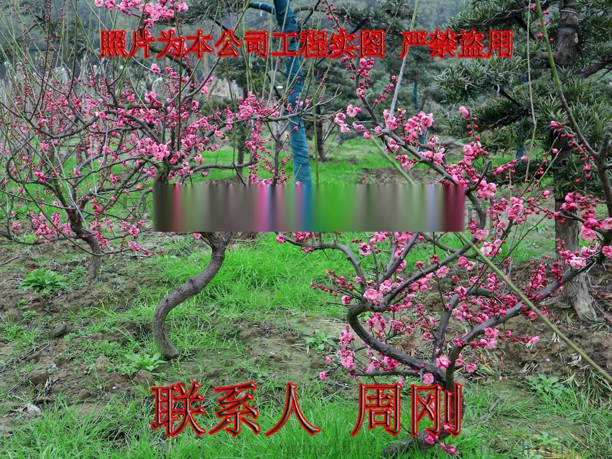 苏州梅花树苗圃基地 造型梅花树 光福香雪海梅花898701695