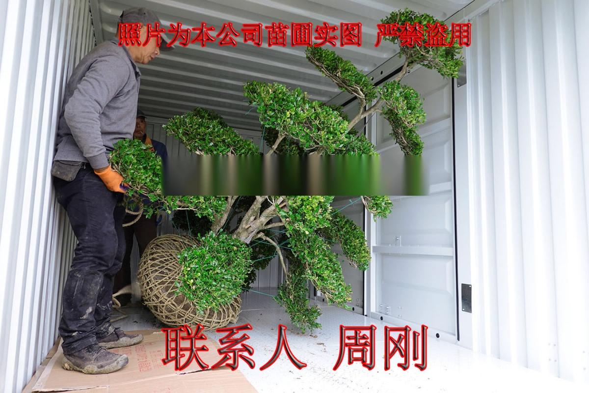 苏州造型小叶黄杨 造型黄杨苗圃基地 庭院别墅绿化899702915