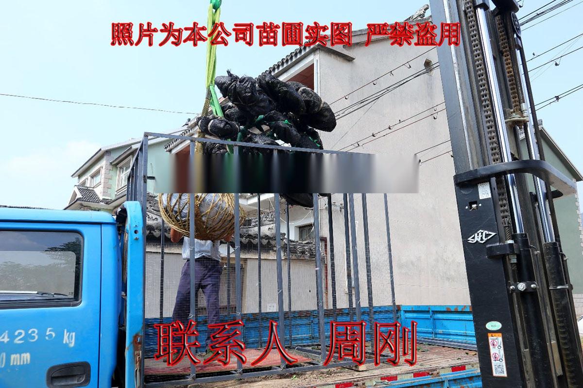 苏州造型小叶黄杨 造型黄杨苗圃基地 庭院别墅绿化899702905