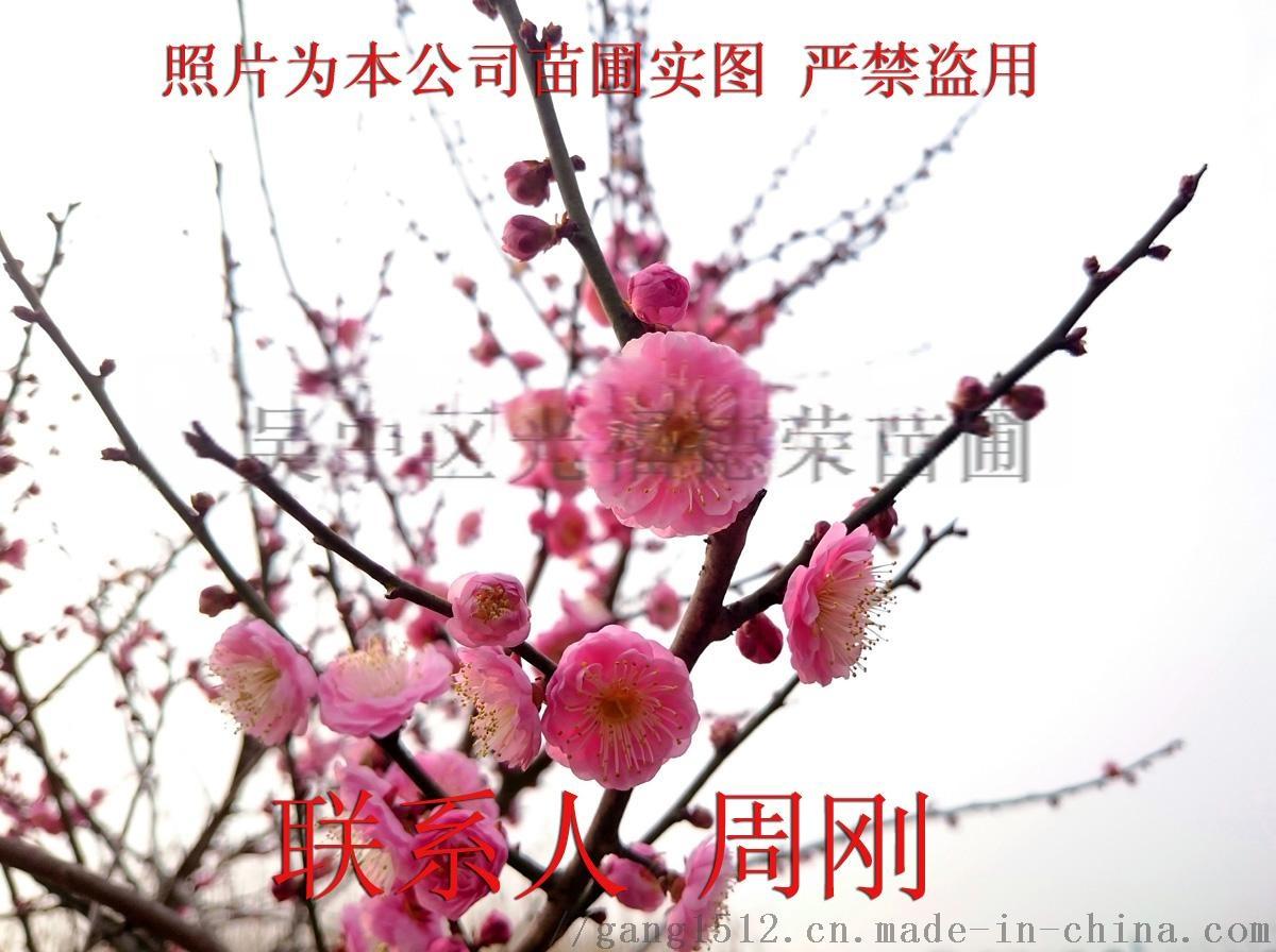 梅花树桩 (6) - 345kb.jpg