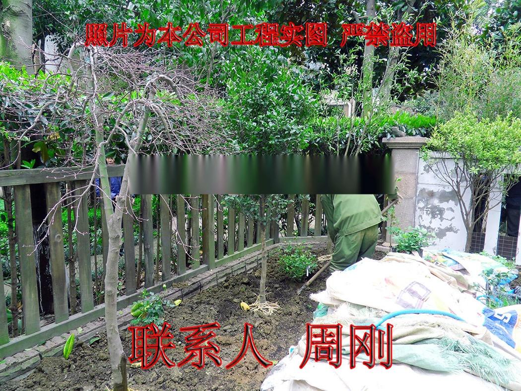 苏州羽毛枫种植基地 红羽毛枫 红枫 高杆精品鸡爪槭899746965