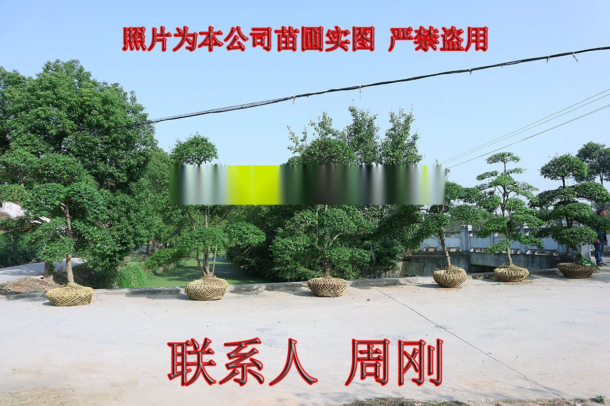 小叶女贞造型树 造型女贞培育种植基地 苏州庭院绿化899750045