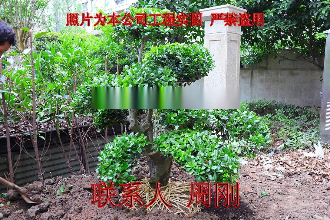 苏州造型鸿运果 造型无刺枸骨基地 庭院景观苗木899734325