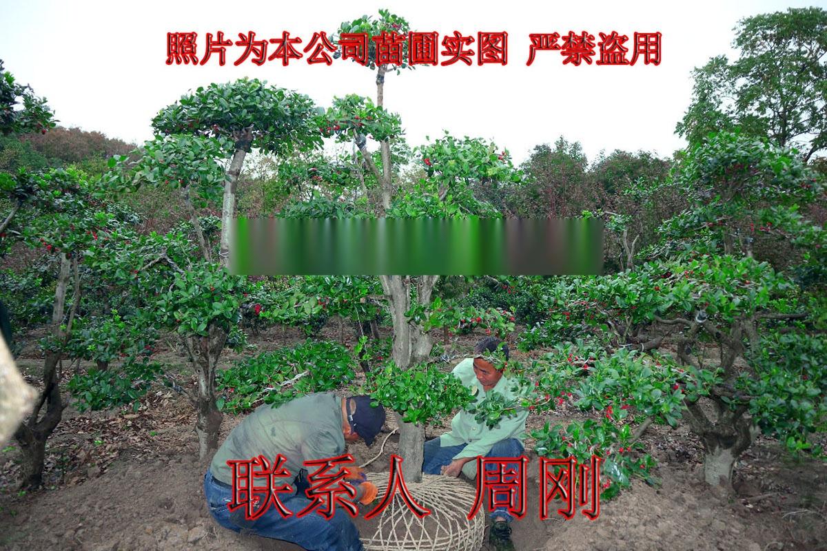 苏州造型鸿运果 造型无刺枸骨基地 庭院景观苗木899734335