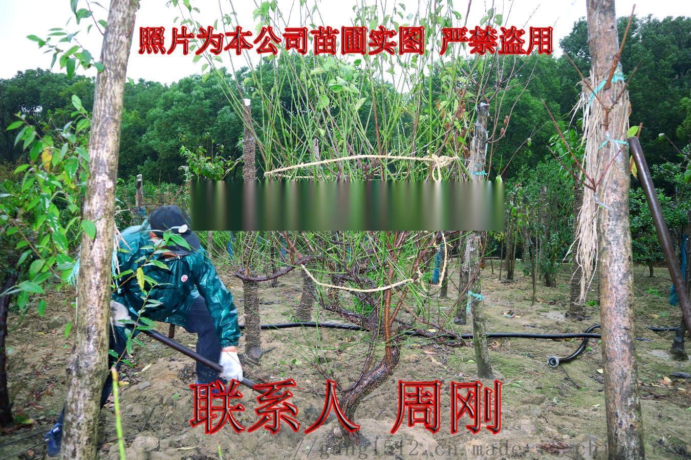 苏州梅花树苗圃基地 造型梅花树 光福香雪海梅花898701735
