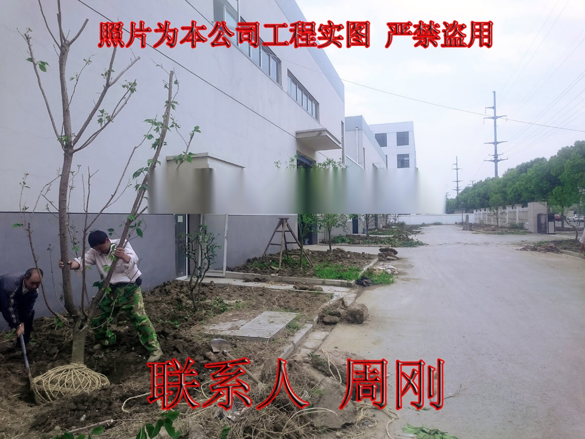 苏州樱花树种植基地 染井吉野樱 日本早樱 日本晚樱899753775