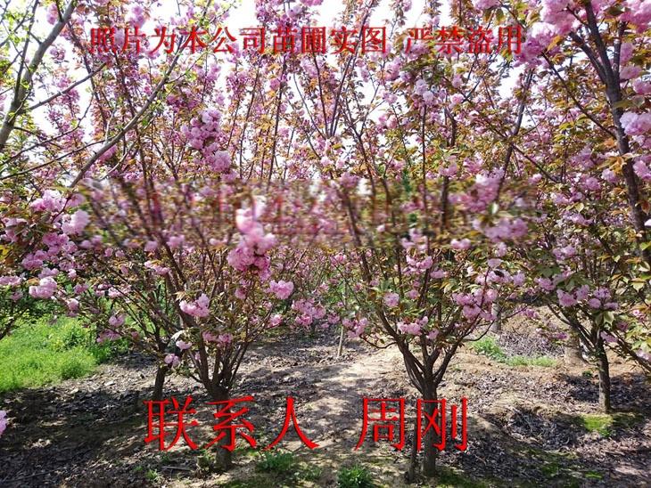 苏州樱花树种植基地 染井吉野樱 日本早樱 日本晚樱899753745