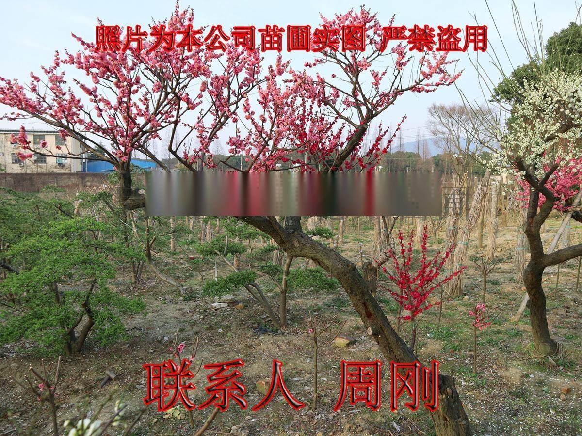 苏州梅花树苗圃基地 造型梅花树 光福香雪海梅花898701705