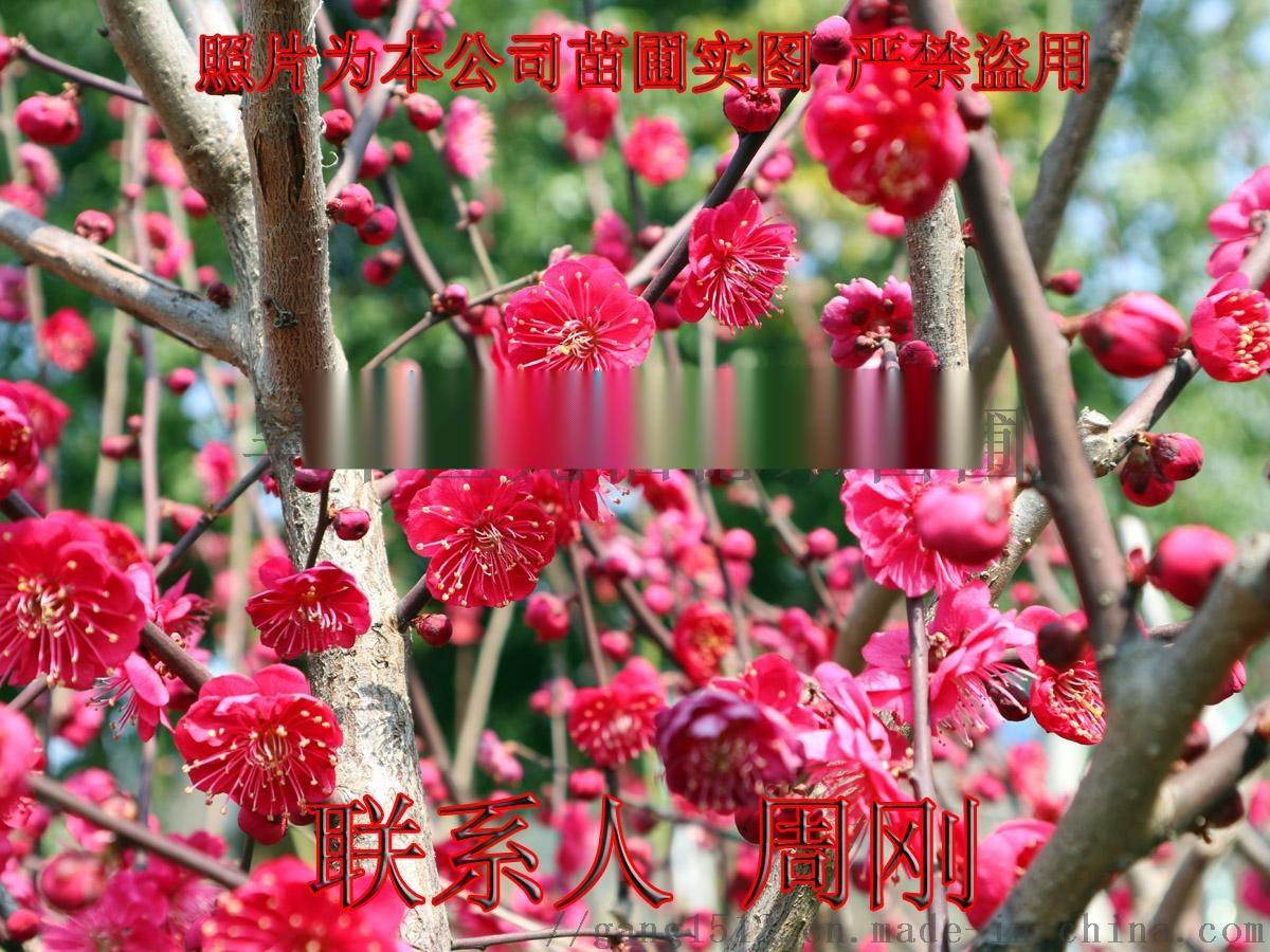 01梅花树桩 - 481kb.jpg