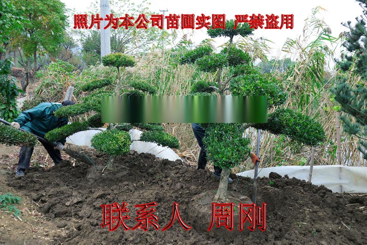 苏州造型小叶黄杨 造型黄杨苗圃基地 庭院别墅绿化899702885