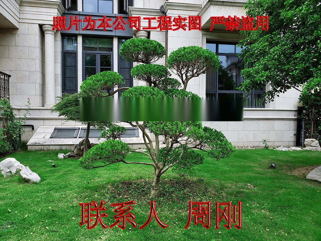 苏州造型小叶黄杨 造型黄杨苗圃基地 庭院别墅绿化899702895