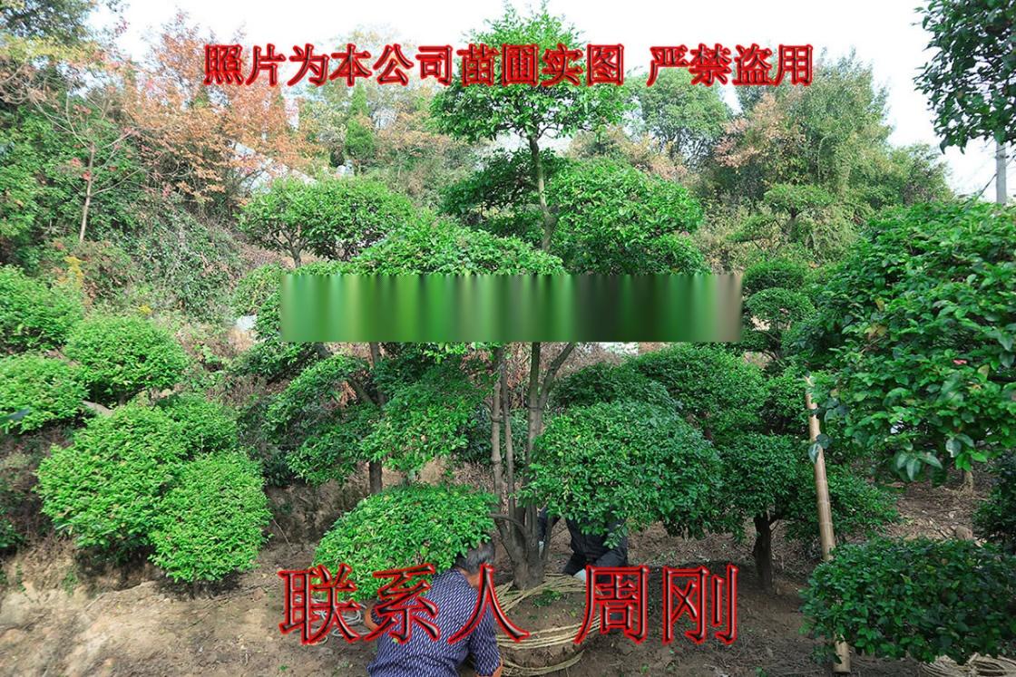 小叶女贞造型树 造型女贞培育种植基地 苏州庭院绿化899750025