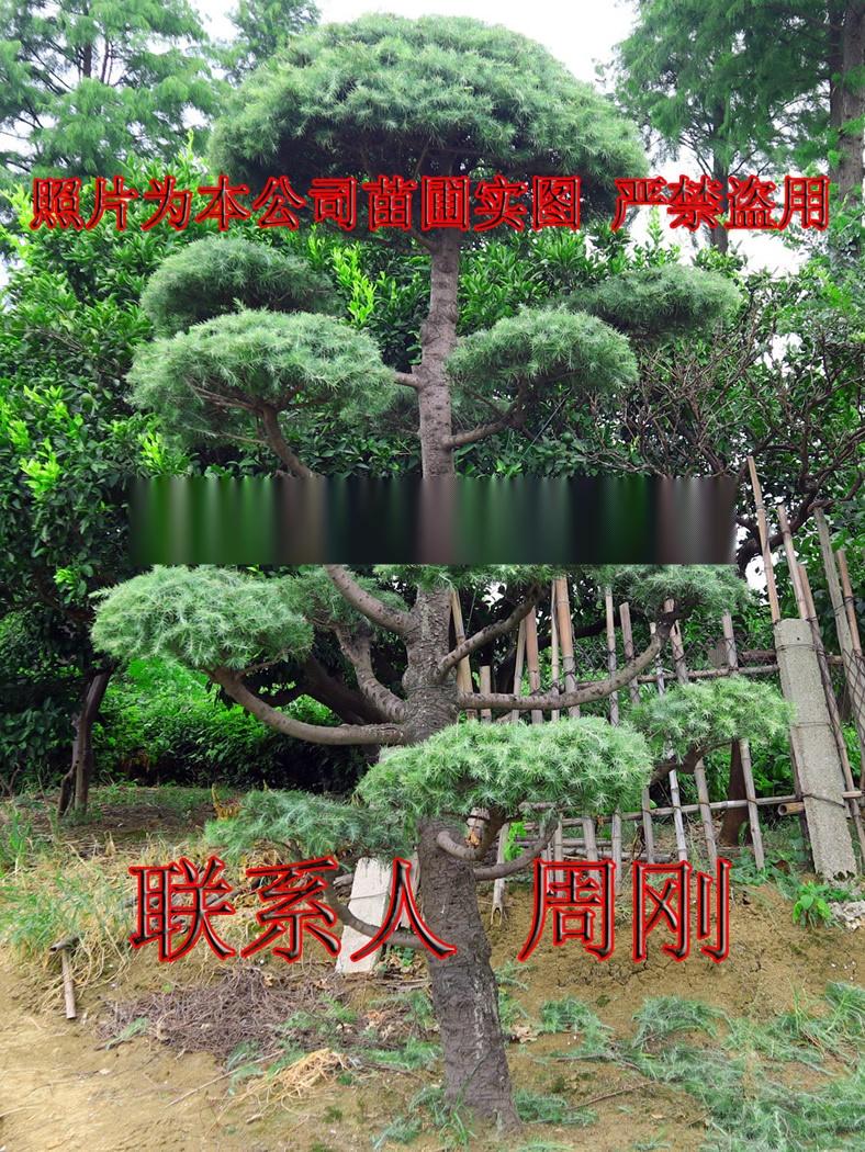 造型雪松  苏州绿化树苗种植基地 苏州市绿化工程899759185