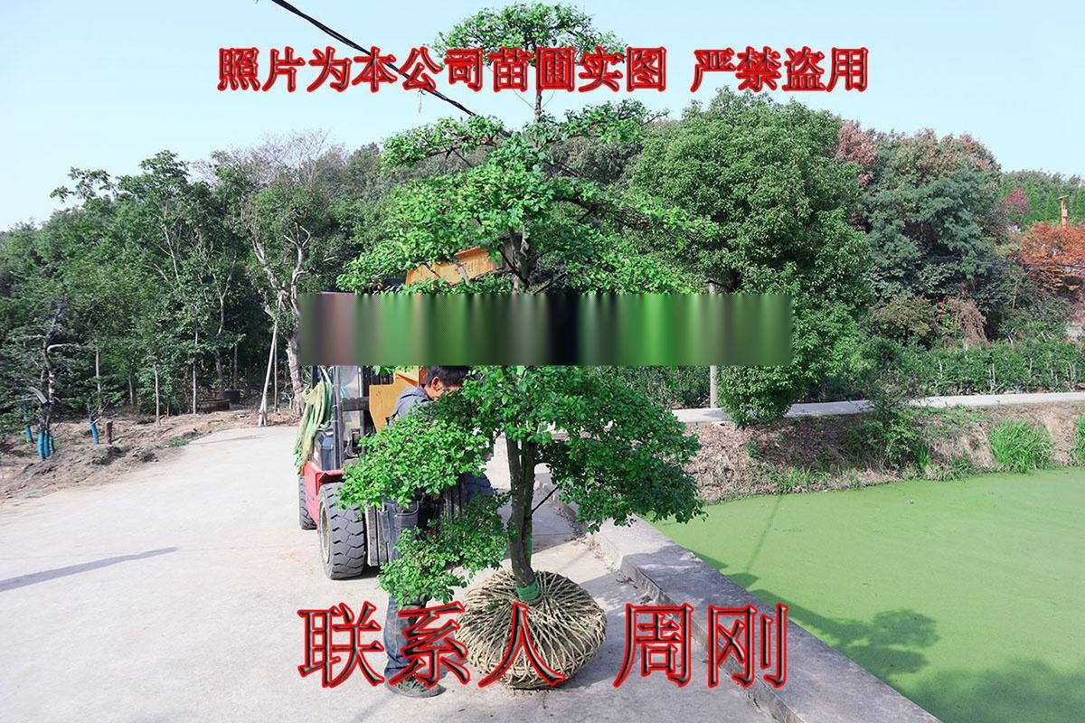 小叶女贞造型树 造型女贞培育种植基地 苏州庭院绿化899750035