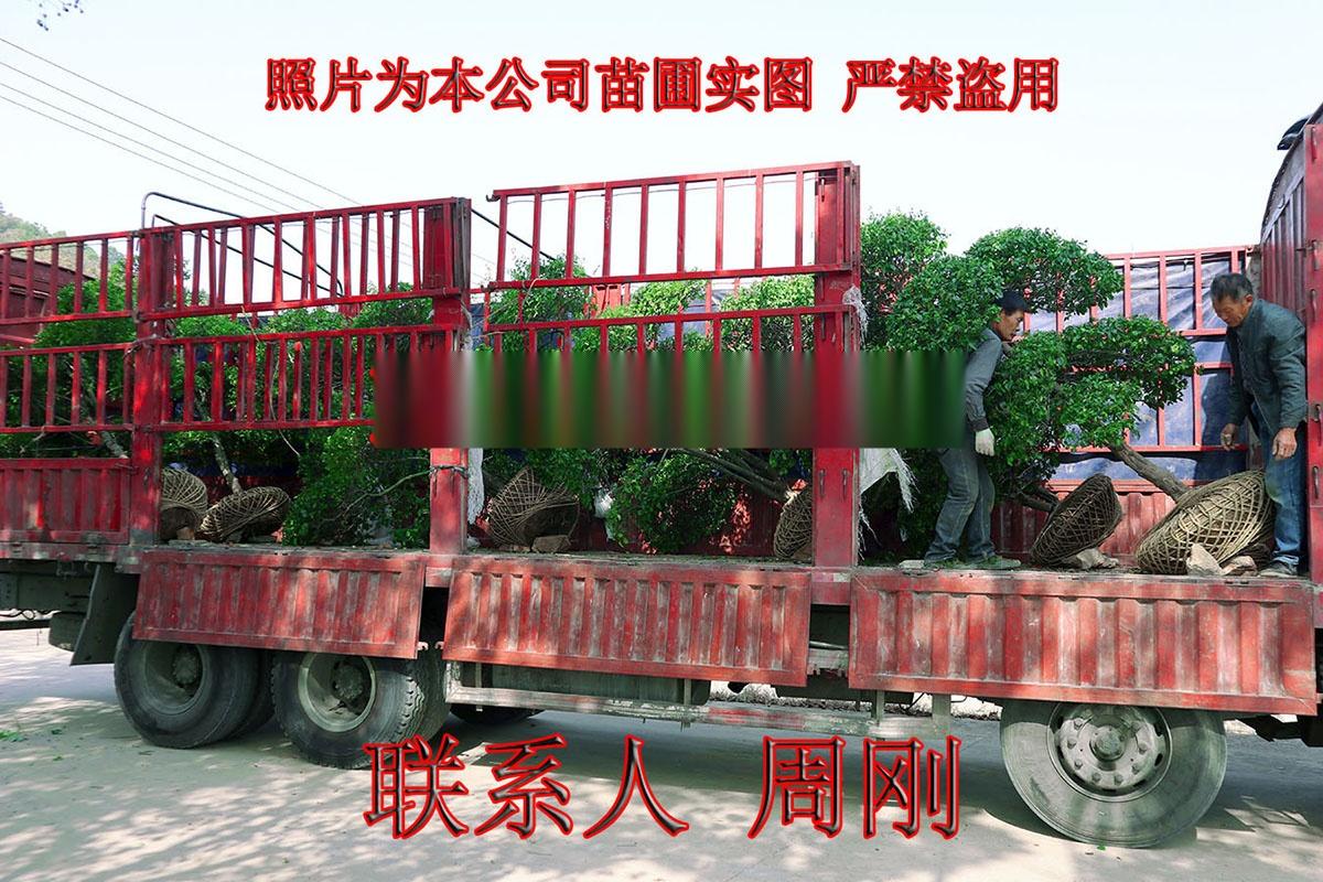 小叶女贞造型树 造型女贞培育种植基地 苏州庭院绿化899750055