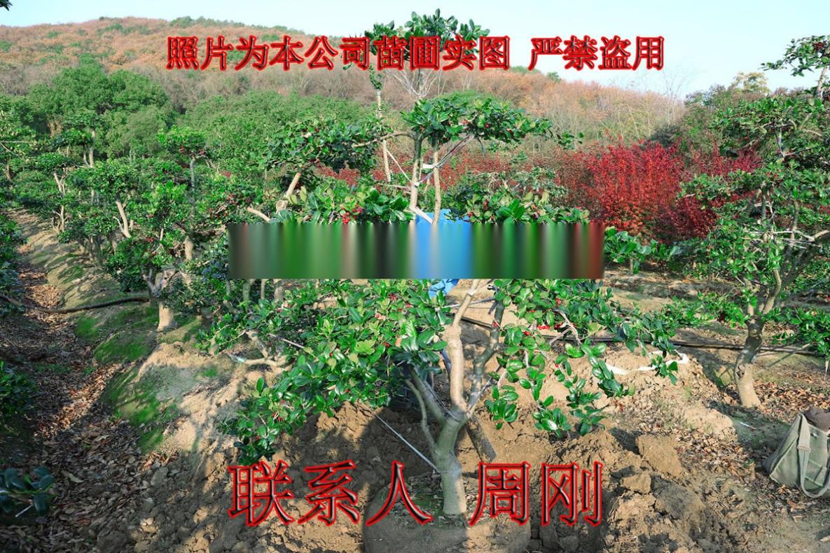 苏州造型鸿运果 造型无刺枸骨基地 庭院景观苗木899734315