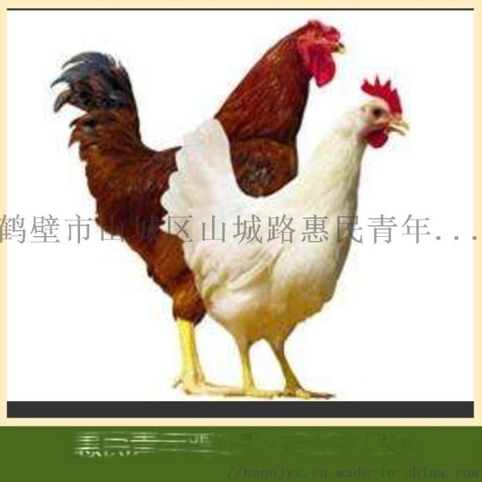 百色海兰褐青年鸡,百色60天海兰褐青年鸡874363605
