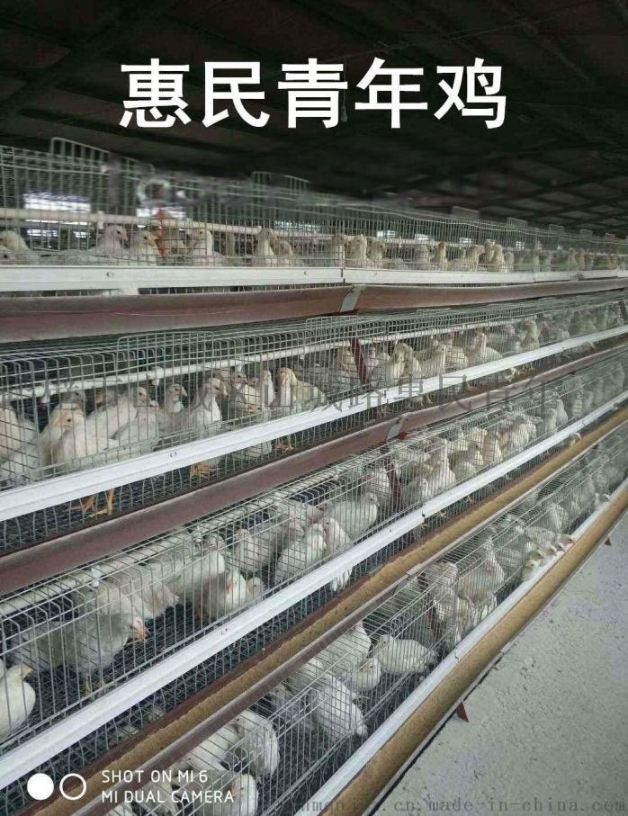 邵阳海兰灰青年鸡免疫接种方法及注意事项874011375