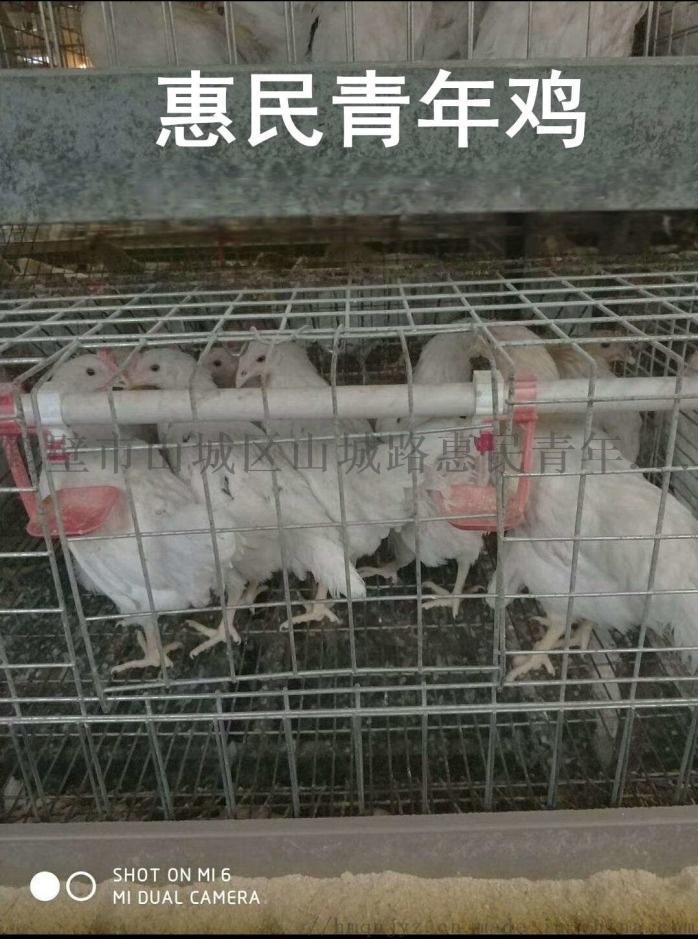 邵阳海兰灰青年鸡免疫接种方法及注意事项123315795