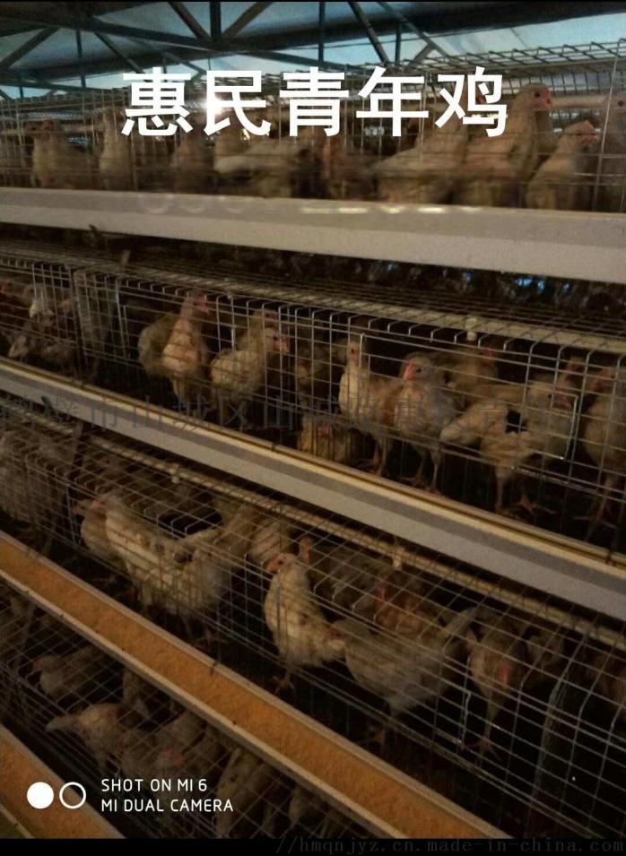 邵阳海兰灰青年鸡免疫接种方法及注意事项123315775