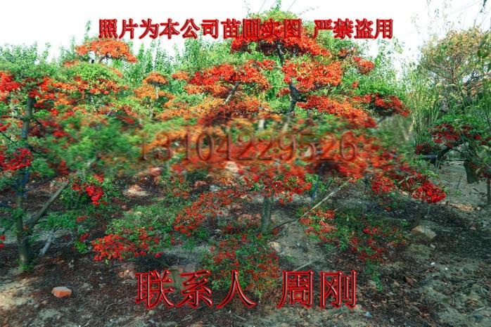 苏州造型火棘 造型红果基地 火棘盆景 庭院景观树892930065