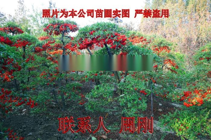 苏州造型火棘 造型红果基地 火棘盆景 庭院景观树892930045