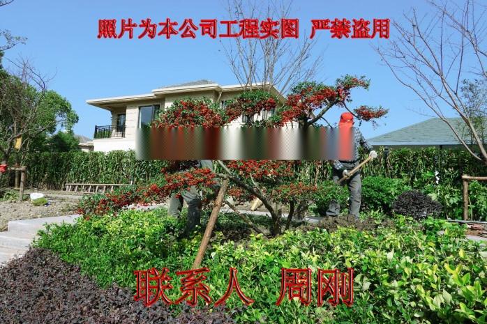 苏州造型火棘 造型红果基地 火棘盆景 庭院景观树892930055